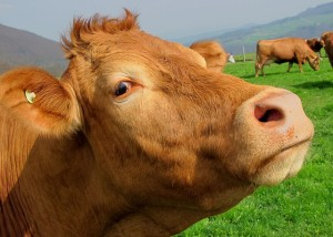 Livestock Insurance for Cows